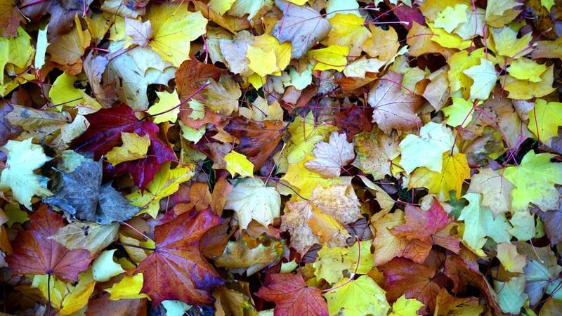 Leaf pickup begins in November for Mishawaka residents.