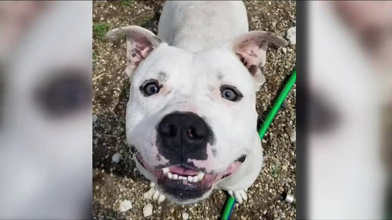 This week in our 2nd Chance segment, we're highlighting a dog from the South Bend Animal...