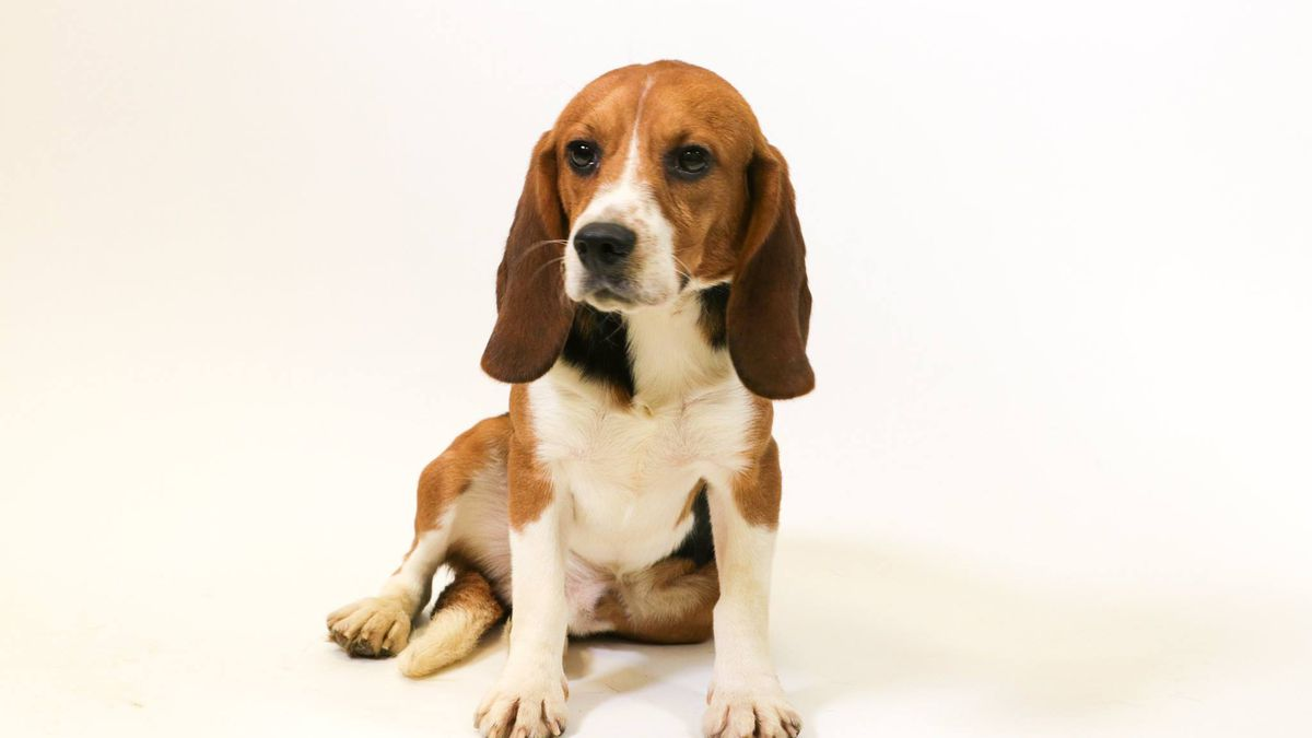 Adopt Beagles Rescued From Mi