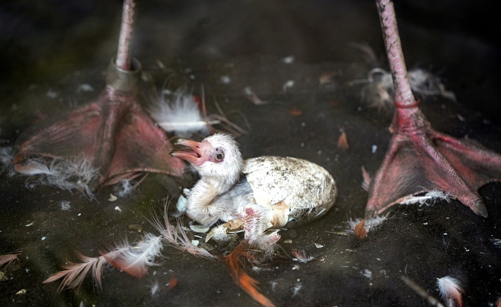 The zoo says the chick can occasionally be seen in the flamingo house in its nest with its...