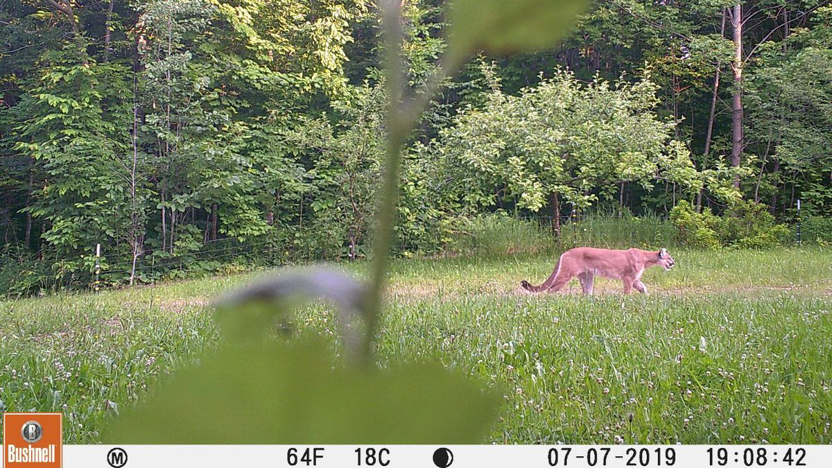 A cougar image is shown from a landowner's game camera, northwest of Ironwood in Gogebic County. (Via the Michigan DNR)