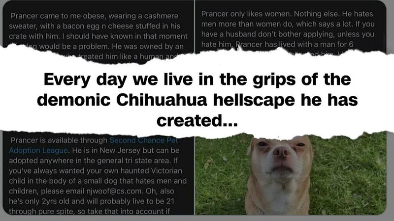 Instead of scaring people off, the hilarious description has resulted in the Chihuahua getting...