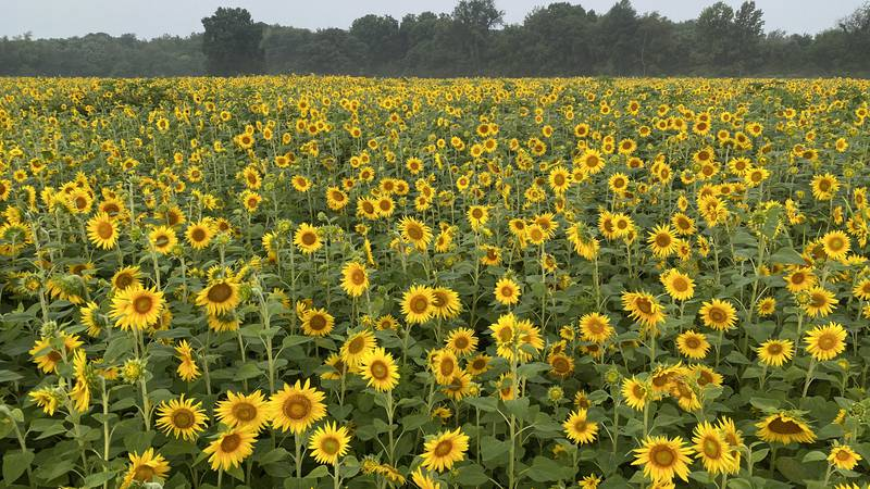 You can stroll through nearly two million sunflowers and take pictures on plenty of props like...